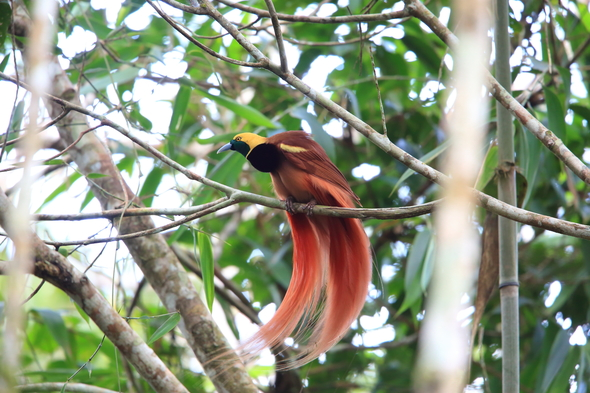 Raggiana bird of paradise in Papua New Guinea