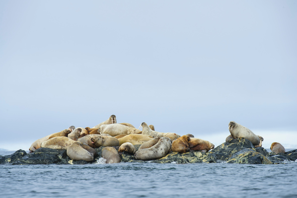 Walrus haul-out in the Arctic