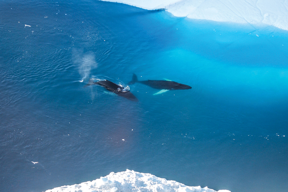 Whales in the Arctic