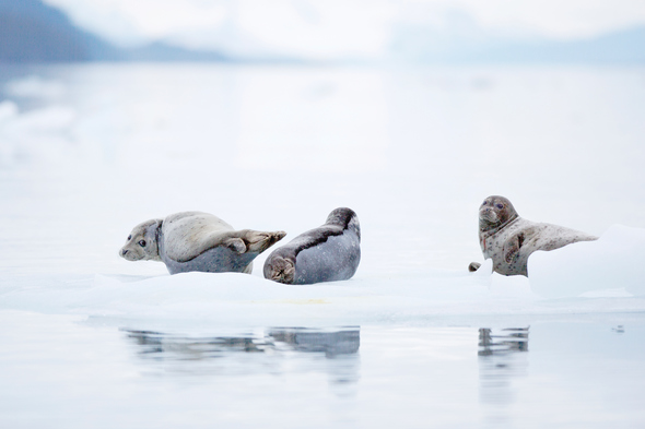 Seals in the Arctic - Read our guide and find out the best time to visit