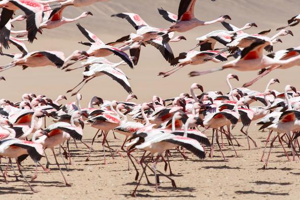Flamingos in Walvis Bay, Namibia