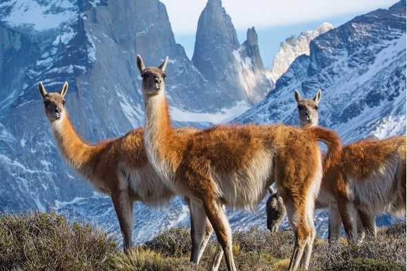 Guanacos on 'Seven Worlds, One Planet'