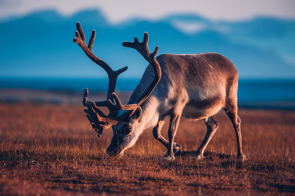 Reindeer in Svalbard in summer