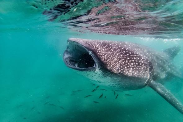 Whale shark in the Sea of Cortez, Mexico
