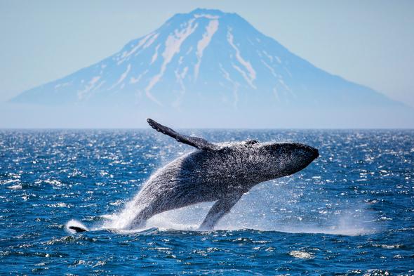 Whale breaching in front of Atlasova Island, Russian Far East