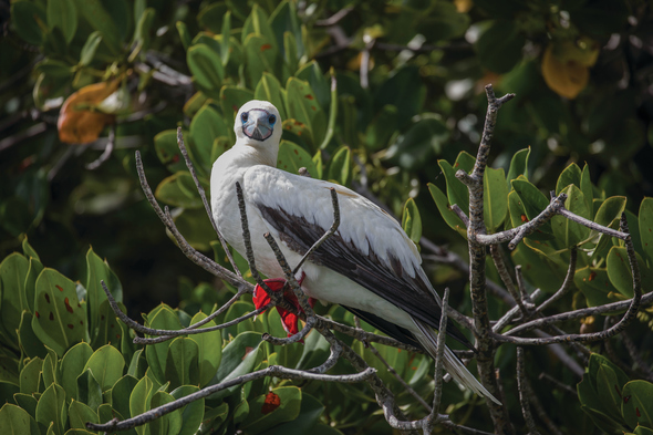 Red-footed booby in the Seychelles