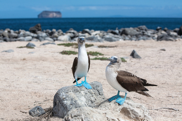 Blue-footed boobies on the beach - book a Galapagos cruise for amazing wildlife experiences
