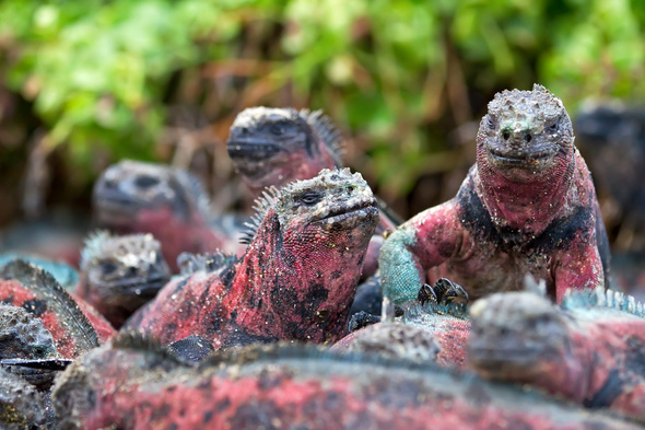 Christmas iguanas in the Galapagos