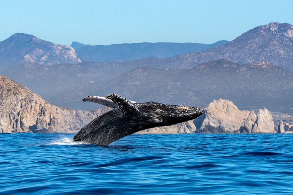 Whale in the Sea of Cortez, Mexico