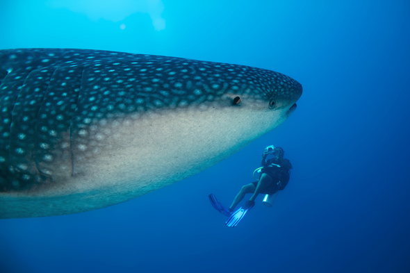 Swimming with whale sharks, one of the top bucket list experiences available on an expedition cruise