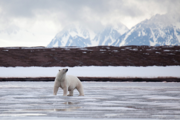 Silversea Expeditions - Polar bear in the Arctic
