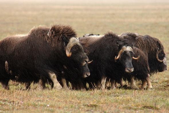 Musk oxen on Wrangel Island, Russia