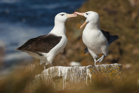 Quark Expeditions - Albatross in South Georgia