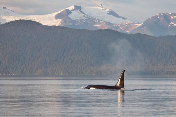 Orca in Frederick Sound, Alaska