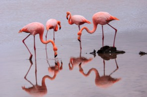Flamingos on Floreana island, Galapagos