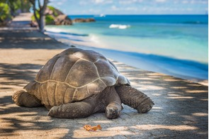 Giant tortoise in the Aldabra Atoll, Seychelles