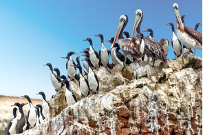 Pelicans and cormorants in the Ballestas Islands, Peru
