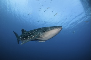 Whale shark in Cenderawasih Bay, Indonesia
