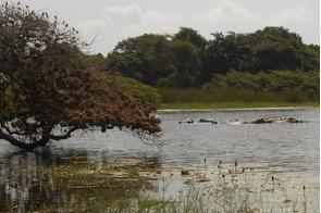 Saltwater hippos on Orango Island, Guinea-Bissau