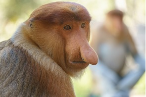 Proboscis monkeys near Sandakan, Malaysia