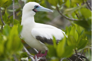 Red-footed booby on Genovesa island, Galapagos