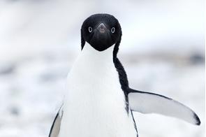 Adelie penguin in Cape Adare, Ross Sea, Antarctica