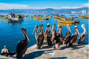 Pelicans in Coquimbo, Chile