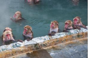 Snow monkeys in an onsen in Hakodate, Japan