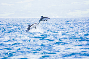 Pacific white-sided dolphins near Muroran, Japan