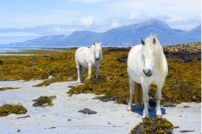 White horses on the Isle of Muck, Scotland