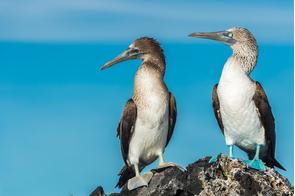 Blue footed boobies in Elizabeth Bay on Isabela, Galapagos