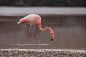 Flamingo at Punta Cormorant on Floreana, Galapagos