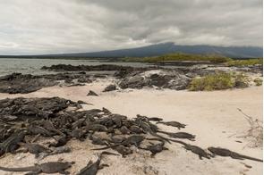 Marine iguanas at Punta Espinoza on Fernandina, Galapagos