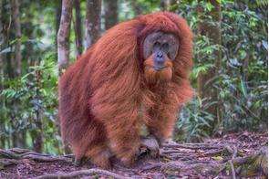 Male orang utan in Gunung Leuser National Park, Sumatra, Indonesia