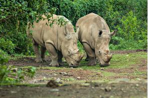 Javan rhinos in Ujung Kulon National Park, Indonesia