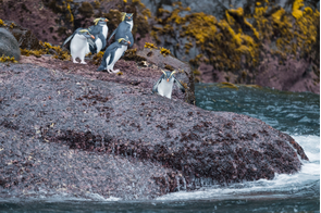 Northern rockhopper penguins on Gough Island