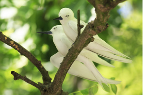 White terns on Cousin Island, Seychelles