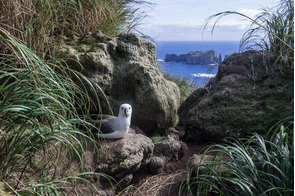 Atlantic yellow-nosed albatross on Nightingale Island, Tristan da Cunha