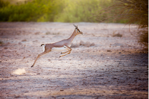 Gazelle on Sir Bani Yas Island, Abu Dhabi