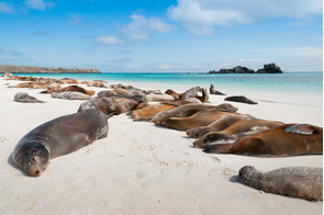 Galapagos sea lions on Española island