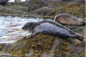 Seals in Glengarriff, Ireland