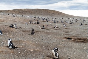 Magellanic penguins on Magdalena Island, Chile