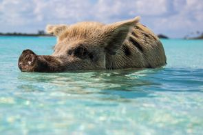 Swimming pigs at Big Major Cay, Bahamas