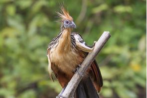 Hoatzin in Pacaya-Samiria National Reserve, Peru