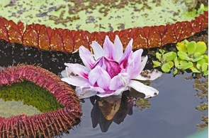 Giant water lilies in the Peruvian Amazon
