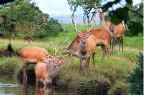 Red deer stags near Lochranza on the Isle of Arran, Scotland