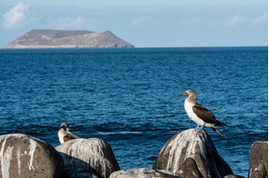 Blue-footed booby in front of Daphne Major, Galapagos