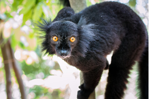 Black lemur in Nosy Komba, Madagascar