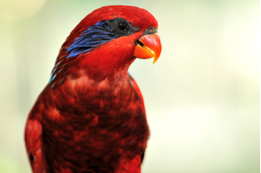 Blue-streaked lory on the Tanimbar Islands, Indonesia