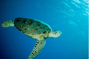 Green sea turtle, Derawan, Indonesia